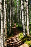 Trayectoria del pie en un bosque del álamo temblón en el parque nacional de Finlandia Foto de archivo