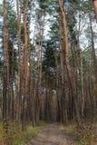 Trayectoria en bosque del pino el día soleado Naturaleza y concepto del desierto Carretera nacional en madera de pino Imágenes de archivo libres de regalías