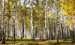 Trayectoria en bosque soleado del abedul Foto de archivo