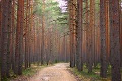 Trayectoria en el bosque del pino, estirando en la distancia, incluso troncos de los árboles de pino en ambos lados Foto de archivo