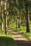 Trayectoria en el bosque entre los árboles Fotografía de archivo libre de regalías