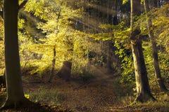 Trayectoria en el bosque viejo con los árboles de haya, rayos de sol que brillan el throug Imagen de archivo