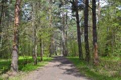 Trayectoria en el pino Forest Path en el bosque del pino Imagen de archivo libre de regalías