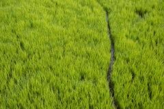 Trayectoria en medio de la planta del arroz en el campo imagenes de archivo