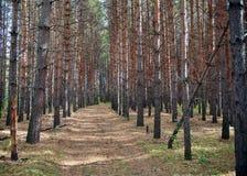 Trayectoria en un bosque del pino Foto de archivo libre de regalías