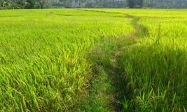 Trayectoria en un campo maduro del arroz Imagenes de archivo