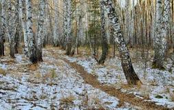 Trayectoria en un otoño del bosque del abedul Foto de archivo