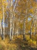 Trayectoria en una arboleda del abedul del oro. Paisaje del otoño. Foto de archivo libre de regalías