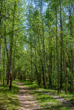 Trayectoria hermosa en Forest Green del abedul de la primavera Fotos de archivo libres de regalías