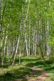 Trayectoria hermosa en Forest Green del abedul de la primavera Foto de archivo