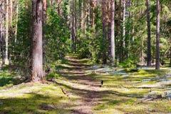 Trayectoria que camina en ella plantaci?n de pi?as soleada Paisaje del bosque del verano fotografía de archivo libre de regalías