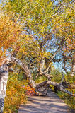 Trayectoria a través de árboles de abedul torcidos Imagen de archivo