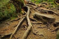 Trayectoria a través de las raíces Fotografía de archivo