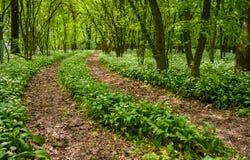 Trayectoria a través del bosque con ajo salvaje Fotografía de archivo libre de regalías