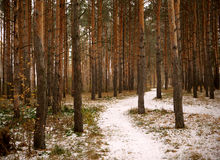 Trayectoria a través del bosque del pino Foto de archivo