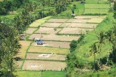 Trayendo en la cosecha en Bali, Indonesia Imagen de archivo libre de regalías