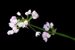 Trayeuse, la cardamine des prés, CuckooFlower fleur sauvage, fleur sauvage rose Image libre de droits