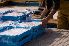 Trays of ice. Man handling plastic trays of ice Stock Images