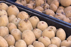Trays of Seed Potatoes Royalty Free Stock Photo
