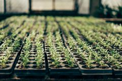 Trays with soil for seedlings stock image
