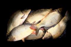 Trazione dei pesci della carpa Fotografie Stock