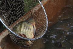 Trazione dei pesci della carpa Immagine Stock Libera da Diritti