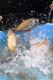 Trazione dei pesci della carpa Fotografie Stock Libere da Diritti