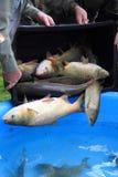 Trazione dei pesci della carpa Fotografia Stock Libera da Diritti