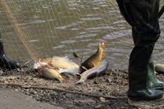 Trazione dei pesci della carpa Immagini Stock Libere da Diritti