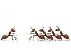 Trazione della corda della formica Fotografie Stock