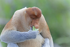 Trąbiasta małpa Obraz Royalty Free
