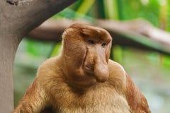 Trąbiasta małpa Fotografia Royalty Free