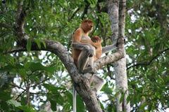 Trąbiasta małpa i dziecko Obrazy Royalty Free
