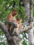 Trąbiasta małpa i dziecko Obrazy Stock
