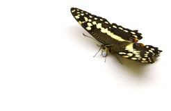 trc цитруса бабочки Стоковые Изображения