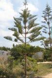 Träd av familjen av sörja Royaltyfria Bilder