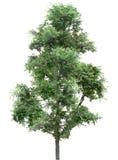 Träd ek, växter, natur, gräsplan, sommar som är lövrik, grönska Fotografering för Bildbyråer