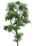Träd ek, växter, natur, gräsplan, sommar som är lövrik, grönska Arkivfoton