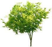 Träd ek, växter, natur, gräsplan, sommar som är lövrik, grönska Arkivbilder