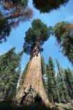 Träd för general Sherman i jätte- skog av sequoianationalparken Arkivfoton