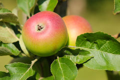 Träd för kronprinsRudolf (Kronprinz Rudolf) äpple med frukt i Österrike Fotografering för Bildbyråer