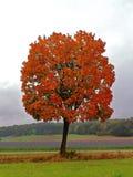 Träd för röd lönn i höstligt landskap Royaltyfri Bild