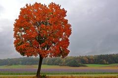 Träd för röd lönn på det Phacelia fältet i sen sommar Arkivbild