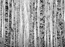 Träd för vinterstambjörk Fotografering för Bildbyråer