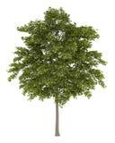 Träd för vit aska som isoleras på vit Royaltyfri Foto