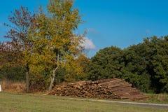 Träd i höst med avverkade trädstammar mot en blå himmel Arkivfoto