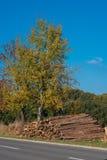 Träd i höst med avverkade trädstammar mot en blå himmel Arkivfoton