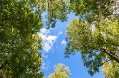 Träd med gröna sidor mot en blå himmel Arkivfoto