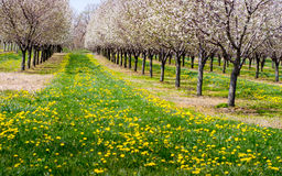 Träd och maskrosor för blomning körsbärsröda Arkivbild