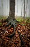 Trädet med stort rotar i dimmig skog Arkivfoto